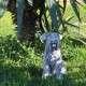 drótszőrű kutya